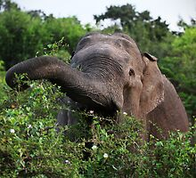 Elephant Feeding by Piers Coe