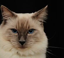 rag doll cat #1 by metriognome