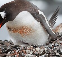 Nesting Gentoo Penguin by DianaC