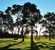 late afternoon gum trees by metriognome