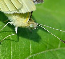 Small White Head Macro by relayer51