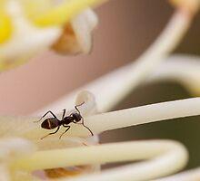Ants love nectar too by Andreas Koepke