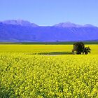 Canola field in the Overberg by MaanKind