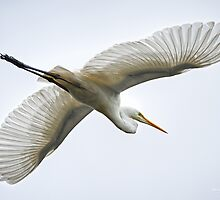 Great Egret by Brad Grove