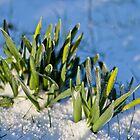 Flowers starting to grow, snow by mattijs