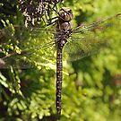 Dragonfly by Amanda McHady