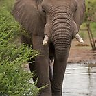 Big Tusker Close Up by Vickie Burt