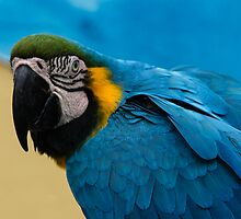 Blue-and-Gold Macaw Parrot by Georgia Mizuleva