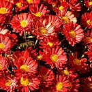 Chrysanthemums by PhotosByHealy