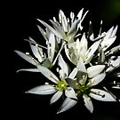 Sunlit white star shaped flowers by Hugh McKean