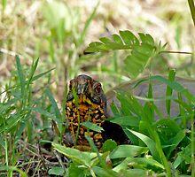 Hello Mr. Box Turtle by Susan S. Kline