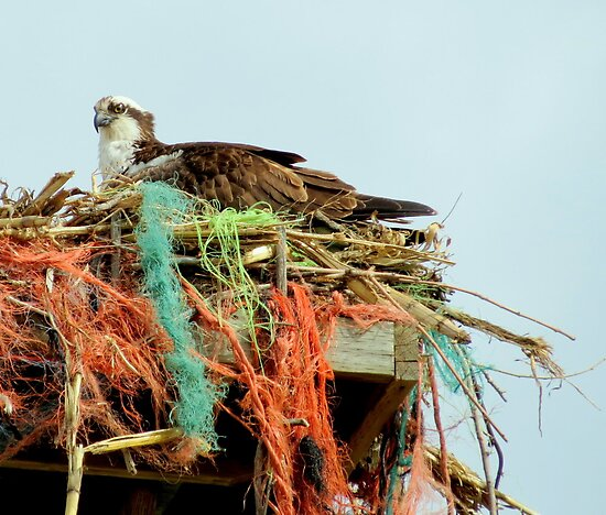 Osprey And Colorful Nest by trueblvr