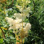 Meadowsweet (Filipendula ulmaria) by Tom Curtis