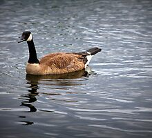 Canada Goose by bountified