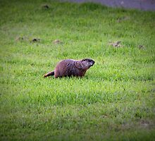 Groundhog by bountified