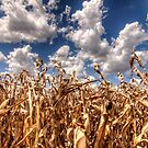 Dead Corn Under a Cloudy Sky by Terence Russell