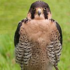 Peregrine by David J Knight