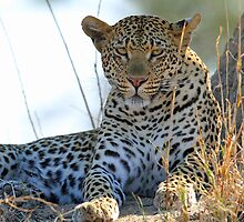 More of a young Mashaba female leopard by jozi1