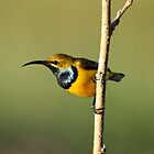 Male Sunbird. by cathywillett