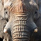 Elephant up close by Stephie Butler