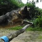 German Shepherd jumping by Jan Carlton