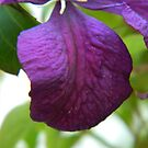 Clematis  by Jan Carlton