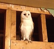 Barn Owl on Alert by happyplace