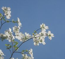 White Dogwood by Grace314