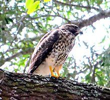 The Falcons Perch by Neema Fallon