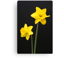 Daffodils in full bloom Canvas Print