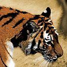 Tiger, Tiger, Burning Bright by John Dalkin