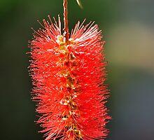 callistemon flower by metriognome