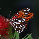 Gulf Fritillary Butterfly by Bob Hardy