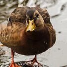 Wet female mallard duck by Arve Bettum