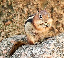 Chipmunk eating a nut by Amy McDaniel