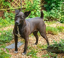 The Pigeon-Toed Patterdale Princess by Jamie  Green