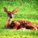 Whitetail Fawn by Sharon Woerner