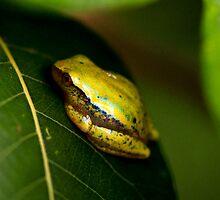 Tree frog (  Heterixalus - betseileo ??  )  Anja Reserve  Madagascar by john  Lenagan