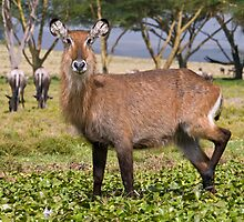 Sweet female waterbuck by Valerija S.  Vlasov