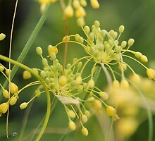 Allium Flavum or Yellow Fireworks Allium by JMcCombie