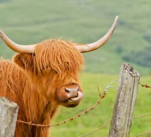Highland Cow by M.S. Photography & Art