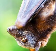Little red Flying-fox by stickeebatz