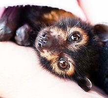 Orphan Spectacled Flying-fox by stickeebatz
