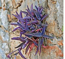 Greek Tradescantia by DRWilliams