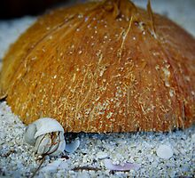 Tonga - Hermit Crab and Coconut by Derek  Rogers
