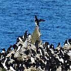 Guillemot Pyramid by Paul  Green