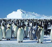 Auster Emperor Penguin Rookery by AndersHamilton