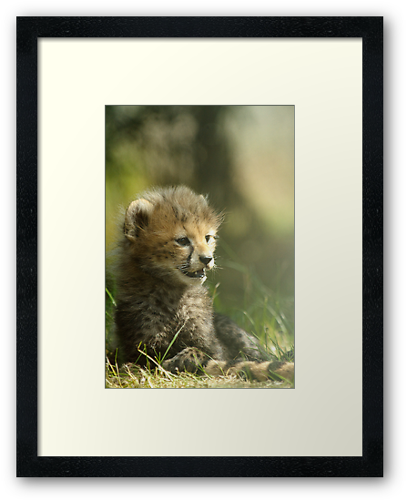 Baby Cheetah by Amy Collinson