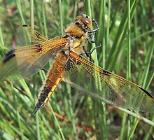 Four-spotted Chaser 02 by Magic-Moments