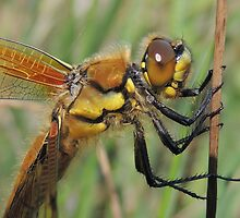 Four-spotted Chaser 08 by Magic-Moments